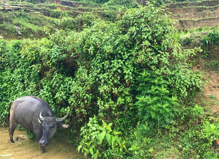 Water Buffalo.jpg